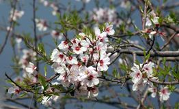 Blooming cherry tree in spring stock photos