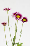 A few blooming gazania flowers. Blooming a few flowers of gazania with dark red and white pedals, with green stems on white background Stock Photo