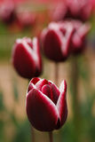 Few blooming purple tulipes Stock Image