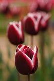 Few blooming purple tulipes Stock Image