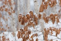 Few branches of leaf covered by snow during winter. royalty free stock image