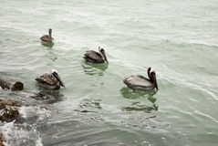 a few brown pelican hunting for fish in ocean Stock Photos