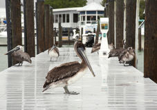 Few brown pelicans . Florida, South Jetty, Gulf of Mexico Stock Images