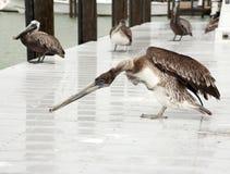 Few brown pelikany Floryda, Południowy Jetty, zatoka meksykańska Obrazy Royalty Free
