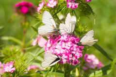 A few butterflies on a flower Royalty Free Stock Photo