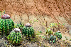 Few cactus in red sand desert Stock Photography