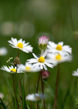 Few Camomiles On The Summer Field Stock Images