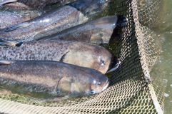 A few carp in a fishing net. Fish farms. Royalty Free Stock Images