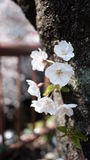 Few of Cherry Blossom nearby river Stock Photography