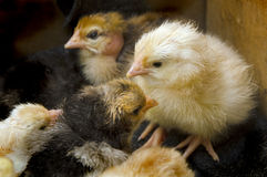 A few chickens in the box Royalty Free Stock Image