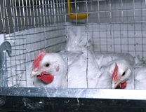 Few chickens eating combined feed in the cage Royalty Free Stock Images