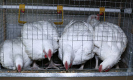 Few chickens eating combined feed in the cage Royalty Free Stock Photography