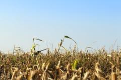 few corn stalks royalty free stock photo