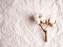 a few cotton flowers lying on the crumpled paper, a copy of the space under the text. stock photo