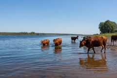 Few cows are, standing in river on hot summer afternoon. Royalty Free Stock Image