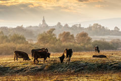 Few cows on frosty meadow. Carpathian rural area behind the village with some cows in fog on meadow at frosty autumn morning stock photo
