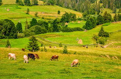 Few cows grazing on hillside meadow. Haystacks behind the fence on rural fields near the forest. beautiful countryside summer landscape Royalty Free Stock Images