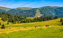 Few cows grazing on hillside meadow. Rural fields near the forest. beautiful countryside summer landscape. tilt-shift lense effect Stock Image