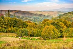 Few cows on meadow. Carpathian rural area near the village  with some cows in on meadow in autumn Royalty Free Stock Images