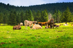 Few cows at meadow. In summer day. Pyrenees, Catalonia Royalty Free Stock Images