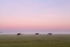 Few cows on misty pasture in summer Stock Photography