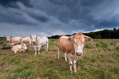 Few cows on pasture over dark sky Stock Photos