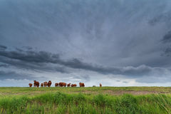 Few cows on pasture and stormy sky Royalty Free Stock Photography
