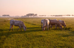 Few cows on pasture at sunrise Royalty Free Stock Photos