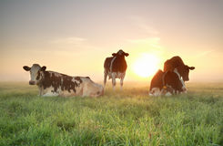 Few cows on relaxed on pasture during sunrise Royalty Free Stock Photography
