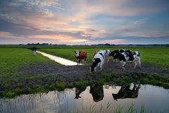 Few cows by river at sunset Royalty Free Stock Photos