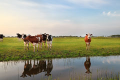 Few cows by river in sunset sunlight Stock Photos