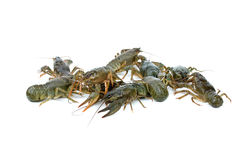Few crawfishes Royalty Free Stock Photos