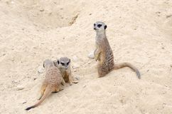 A few cute and beautiful meerkats are sitting in the sand royalty free stock image