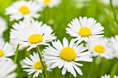 Few daisies flowers Royalty Free Stock Images