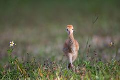 Few day old sandhill crane learns to walk Royalty Free Stock Photography
