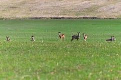 Few deer pasture Stock Photos
