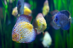 Few discus fish  at water Royalty Free Stock Images