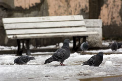 Few doves, birds in the snow, spring Royalty Free Stock Photography