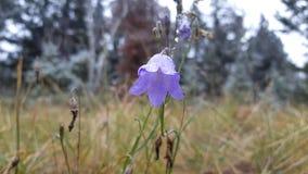 Purple flower in meadow. Few drops on purple flower royalty free stock image