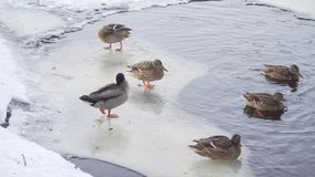 Few ducks and drake stand on ice floe of winter lake and clean their feathers