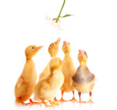 A few ducks and a flower Stock Photo