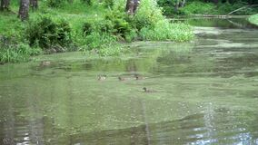 Few ducks swim on the pond in a park