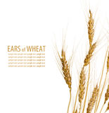 Few ears of wheat Royalty Free Stock Image