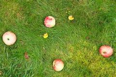 Few fallen ripe apples lie on green grass Stock Photos