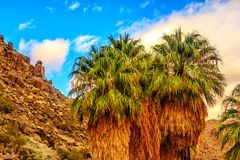 A few Fan Palm Trees in Joshua Tree National Park royalty free stock image