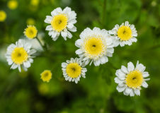Few Feverfew Obrazy Royalty Free