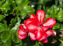 A few flowers blooming red geraniums on the background of green leaves stock image
