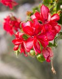 A few flowers blooming red geraniums on the background of green leaves stock images