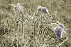 Few flowers pulsatilla pratensis on meadow. Few flowers pulsatilla pratensis on the spring meadow in sepia. Only flowers - natural color Royalty Free Stock Photos