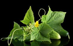 Few fresh raw cucumbers with flower isolated on black. Few fresh raw cucumbers with flower bud,leaves and tendrils isolated on black background Stock Photo